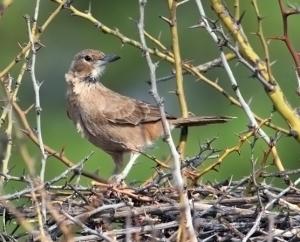 İspermeçet Kuşu