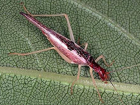 Soytarı Cırcır Böceği