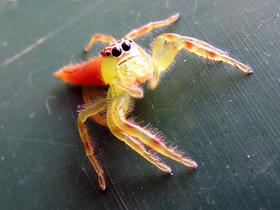 Mükemmel Görme Yeteneğine Sahip Sıçrayan Örümcekler