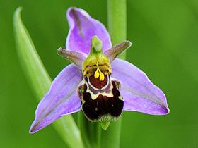 Orkidelerin Üreme Mekanizması