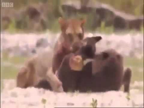 Aslanlar Eşşek Sürüsüne Saldırırsa