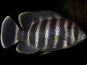 Tilapya Balıkları