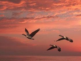Göçmen kuşlardaki üstün tasarım örnekleri