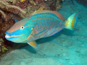 Mercan Resiflerindeki Yaşam : Melek balığı, Horozbina, Papağan Balığı