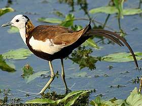 Suyun Üzerinde Yürüyebilen Jacana Kuşları