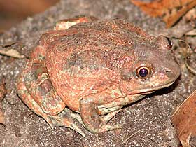 Güney Afrika Demirci Kurbağası'nın Yuvası