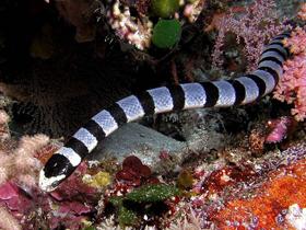 Deniz Yılanları