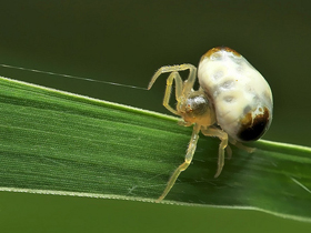 Bolas Örümceği