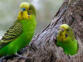Susuzluğa Dayanıklı Muhabbet Kuşları