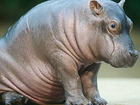 Hipopotamların ürettikleri sıvı, güneş kremi işlevi görüyor
