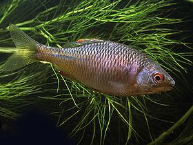 Dişi Acı Balıklar