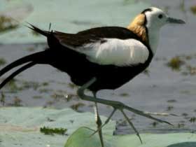 Tehlike Anında Yumurtalarının Yerini Değiştiren Hydorophasianus Chirurgus Kuşu