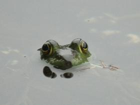 Kurbağaların Gözleri