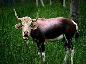 Öküz Başlı Antilopların Hızları