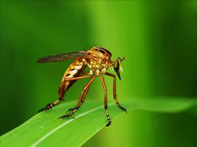 Yırtıcı Redovid Böceğinin İlginç Av Yakalama Yöntemi
