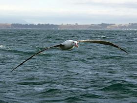 En Geniş Kanat Uzunluğuna Sahip Kuşlar: Albatroslar