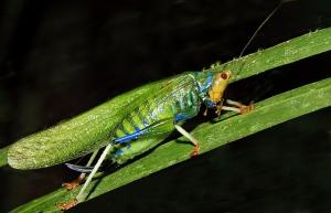 Düşmanı Uyarmak İçin Kullanılan Renkler : Katydid, Çekirge