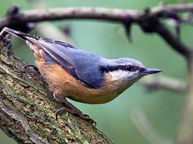 Sıvacı Kuşları