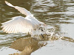 Suyun İçine Girerek Avlanan Kuşlar
