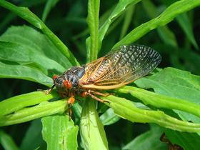 Ağustos Böceklerinin Çıkardıkları Sesin Şiddeti