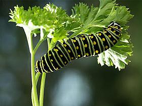 Milkweed Bitkisi ve Tırtıllar