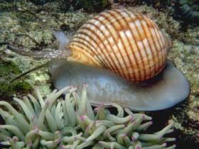 Deniz Salyangozunun Savunma Yöntemi
