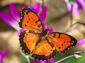 Kelebeklerin Zırhları