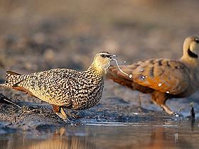 Su Taşıyan Sandgrouse Kuşları