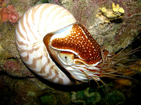 Nautiluslar