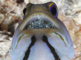 Kemik Dilli Balıklar