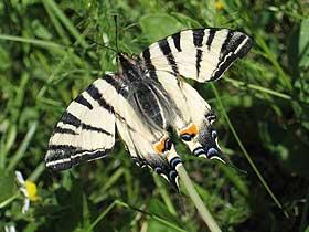 Zebra Çatal Kuyruklu Kelebekler