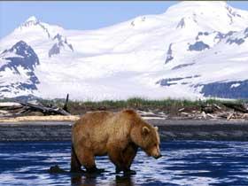 Kış Uykusundaki Sibirya Boz Ayısı Nasıl Hayatta Kalır?