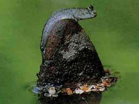 Çamuratlar Balıklarının İlginç Yaşamları