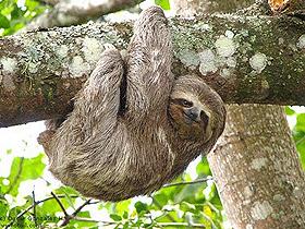 Tembel Hayvanlar: Slothlar
