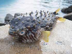 Kirpi Balığının Güneş Gözlüğü