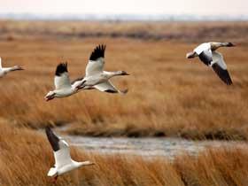 Kuşların Hiç Durmadan Yaptıkları Uzun Göç Yolculukları