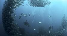 Yunuslar Balık avlıyor