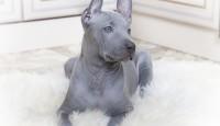 Sadece yetiştirildiği yerlerde görebileceğiniz 9 Köpek türü