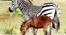 Üstü eşek'e , Altı Zebra'ya Benziyor