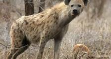 Sırtlan Zürafayı Yiyor