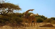 Zürafa Kavgası