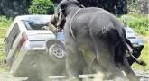 İnsanlara saldıran Hayvanlar, Kızarsa böyle olur!