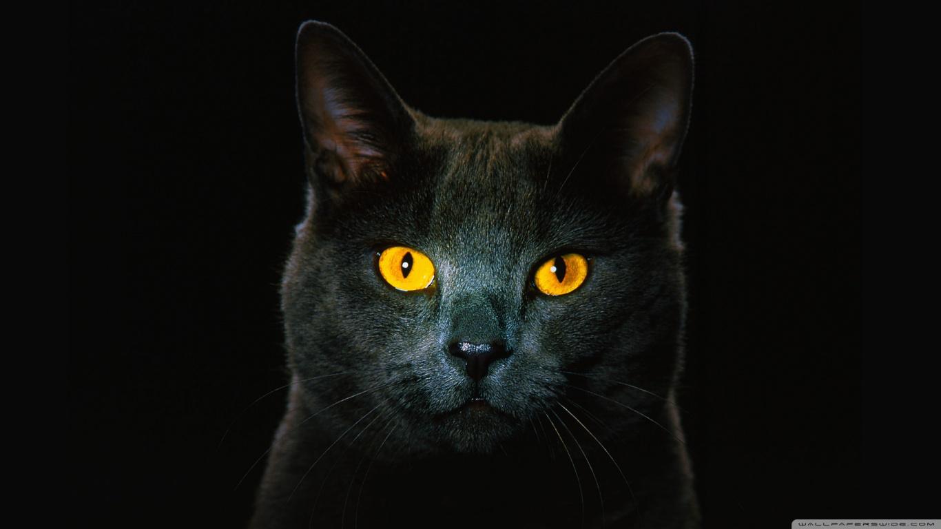 hayvanlaralemi1-com-altin-gozlu-kedi