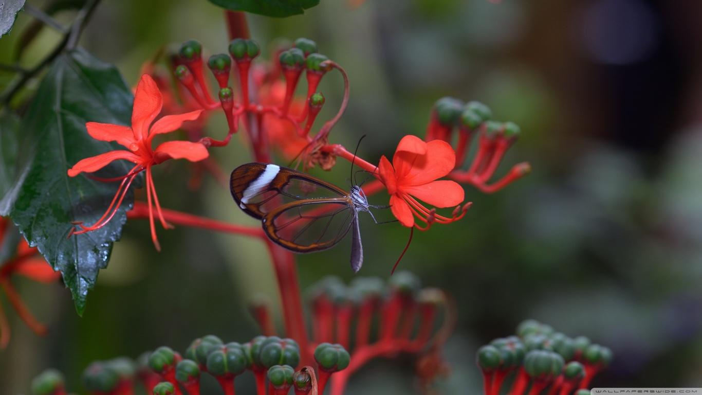 hayvanlaralemi1-transparan-kanatli-guzel-kelebek