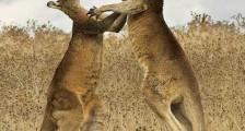 Kanguru Çifleşmesi ( Hayvanat Bahçesinde )
