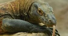 Komodo Ejderi Kobra Yılanına Karşı